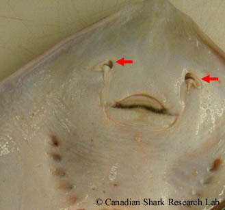 Ventral side of a mature female thorny skate (Amblyraja radiata), with the red arrows demarking the external nares.