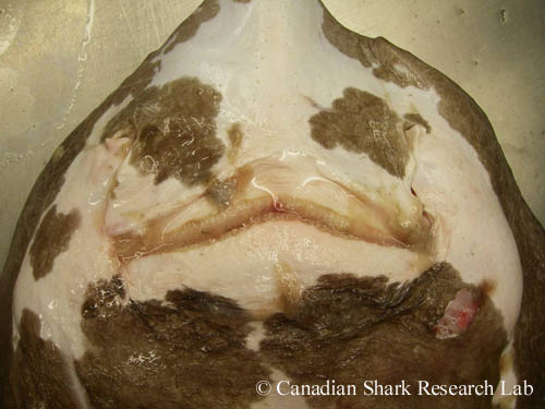 Ventral view of the jaws of a mature male shorttail (or Jensen's) skate (Amblyraja jenseni)