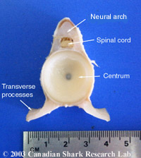 A thoracic vertebrae removed from a porbeagle shark (Lamna nasus)