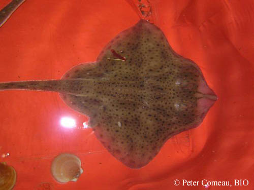 Maturing female winter skate (Leucoraja ocellata) tagged with a conventional dart tag